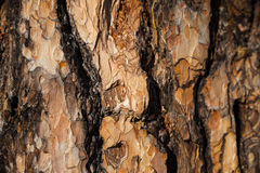 Larch bark background Royalty Free Stock Images