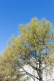 Larch blooming in spring Stock Photo