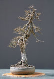 Larch Bonsai In Winter Stock Photography