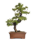 Larch bonsai tree, Larix, isolated Royalty Free Stock Images