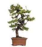 Larch bonsai tree, Larix, isolated Stock Photos