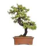 Larch bonsai tree, Larix, isolated Royalty Free Stock Photography