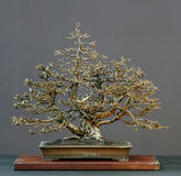 Larch bonsai in winter Royalty Free Stock Photo
