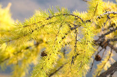 Larch branch Stock Photo
