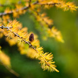 Larch branch with cone in autumn golden color with green background Royalty Free Stock Photos