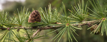 Larch branch with cones Royalty Free Stock Photo