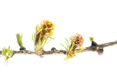 Larch branch with cones isolated on white background Royalty Free Stock Image