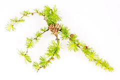 Larch branch isolated Stock Images