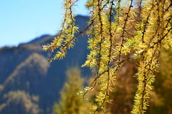 Autumn abstract. Sunny autumn day in Carpathian mountains. Vividly colored yellow Larix decidua branch back-lit by afternoon Sun on the background of far stock photography