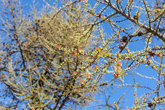 Larch branches Royalty Free Stock Photo