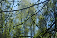 Larch branches with tender greens against the backdrop of wild forest stock images