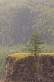 Larch on breakage at the river. Stock Image
