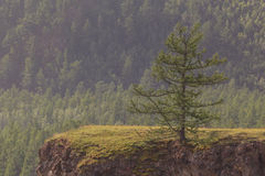Larch on breakage at the river. Stock Photo