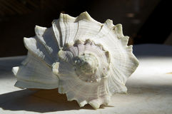 Larch conch shell outside Royalty Free Stock Image