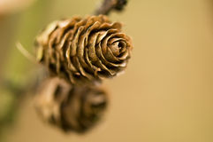 Larch cone Royalty Free Stock Photo