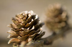 Larch cone Stock Photos