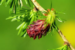 Larch cone Royalty Free Stock Image