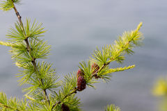 Larch with cone Stock Photo