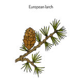 Larch cone and branch Stock Photography