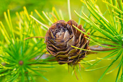 Larch cone closeup Stock Photos