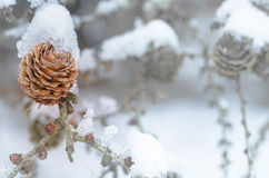 Larch cone covered with snow Stock Photos