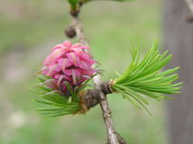 Larch cone. Just flourished pink Larch Cone Stock Image