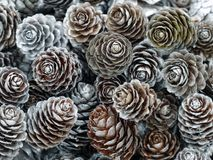 Larch cones Stock Photography