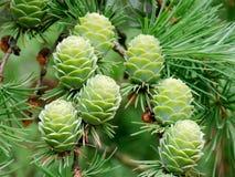 Larch cones. Hanging on branch (Larix decidua Stock Photo