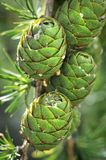Larch cones Royalty Free Stock Photos