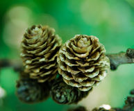 Larch Cones Royalty Free Stock Photography