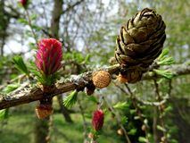Larch cones. And blossom in spring Royalty Free Stock Image
