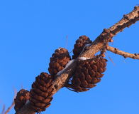 Larch Cones Stock Photo