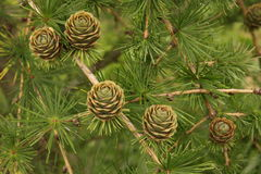 Larch cones Royalty Free Stock Images