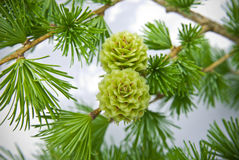 Larch cones . Stock Photo