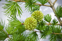 Larch cones . Royalty Free Stock Photo