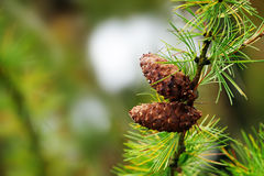 Larch cones on a larch branch, copy space Royalty Free Stock Image