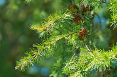 Larch with cones Stock Photos