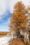 Larch decorated with white ribbons Royalty Free Stock Photo