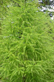 Larch European Larix decidua Mill. with young green needles. S Stock Photography