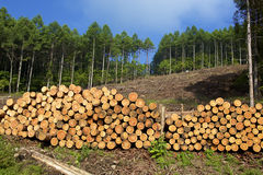 Larch felling Royalty Free Stock Image