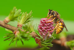 Larch Flower And Wasp Royalty Free Stock Photos