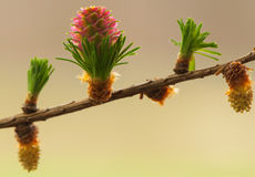 Larch flower Stock Image