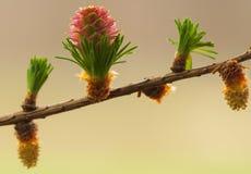 Larch flower Stock Image