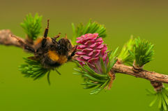 Larch flower Royalty Free Stock Images