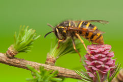 Larch flower and wasp Stock Photos