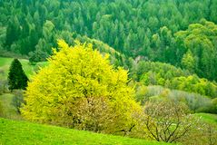 Larch forest. Larch tree in the hills of Trentino valley surrounded by pine forests Gresta royalty free stock photo