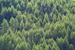 Larch forest Stock Photos