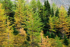 Larch forest Royalty Free Stock Image
