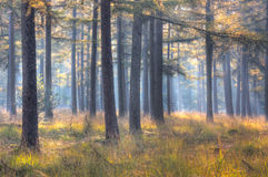 Larch forest in autumn Royalty Free Stock Photo