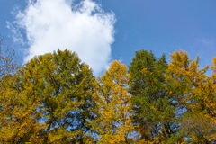 Larch forest Stock Photography